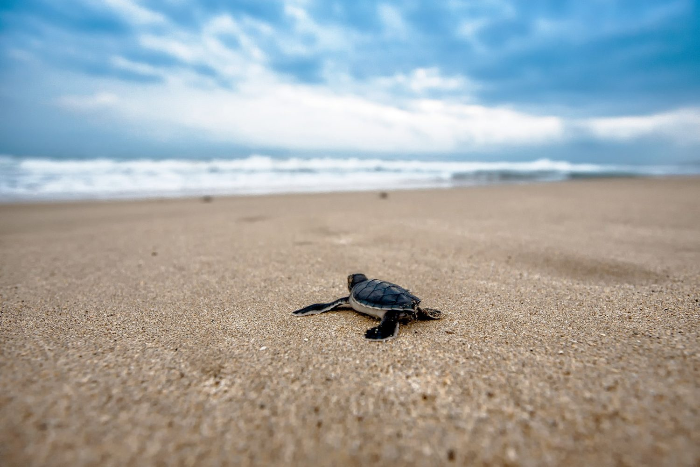ASVO sea turtle conservation buena vista