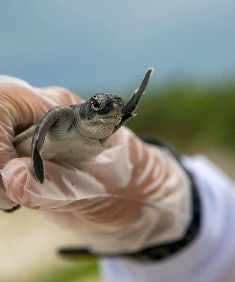 ASVO SEA TURTLE CONSERVATION MONTEZUMA